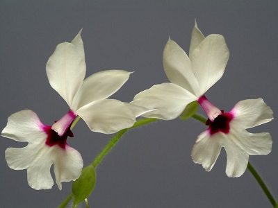 Calanthe rubro oculata, height of flower  4 cm