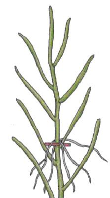 Размножение верхушечными черенками
